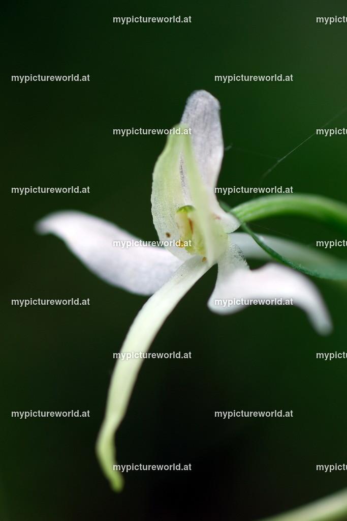Weiße Waldhyazinthe-012