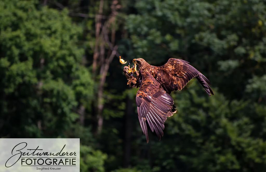 Adler fängt Küken
