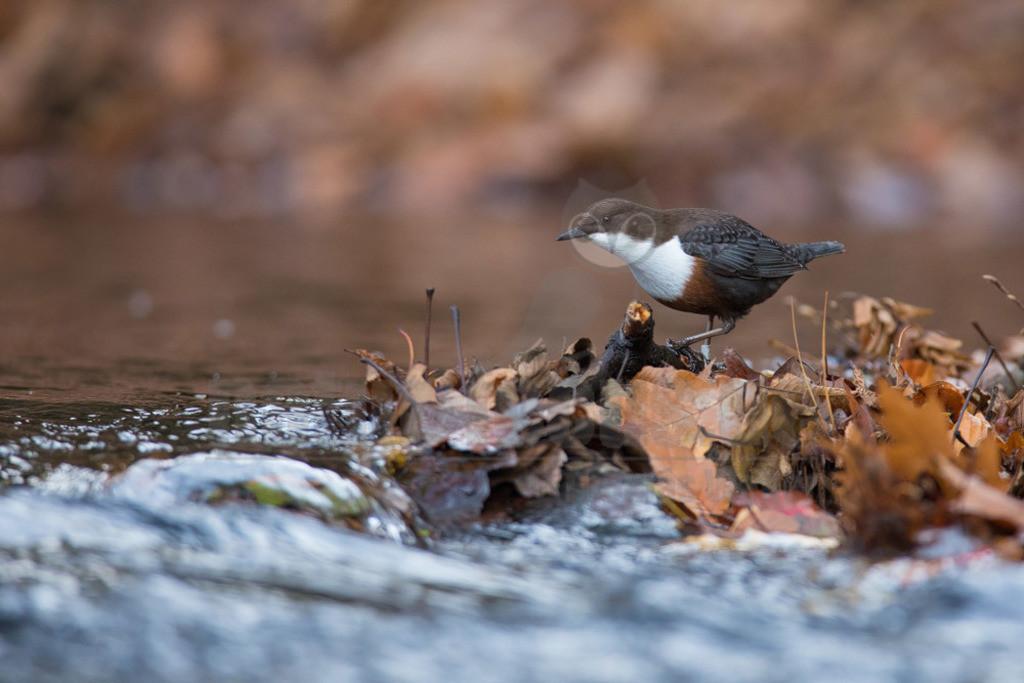 20181027-663A3508 Kopie   Die Wasseramsel oder Eurasische Wasseramsel ist die einzige auch in Mitteleuropa vorkommende Vertreterin der Familie der Wasseramseln. Der etwa starengroße, rundlich wirkende Singvogel ist eng an das Leben entlang schnellfließender, klarer Gewässer gebunden. Dort ernährt sich die Art vornehmlich von Wasserinsekten, die sie vor allem tauchend erbeutet.