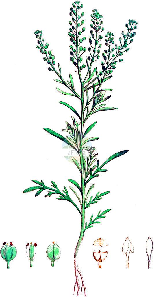 Lepidium ruderale (Schutt-Kresse - Narrow-leaved Pepperwort) | Historische Abbildung von Lepidium ruderale (Schutt-Kresse - Narrow-leaved Pepperwort). Das Bild zeigt Blatt, Bluete, Frucht und Same. ---- Historical Drawing of Lepidium ruderale (Schutt-Kresse - Narrow-leaved Pepperwort).The image is showing leaf, flower, fruit and seed.
