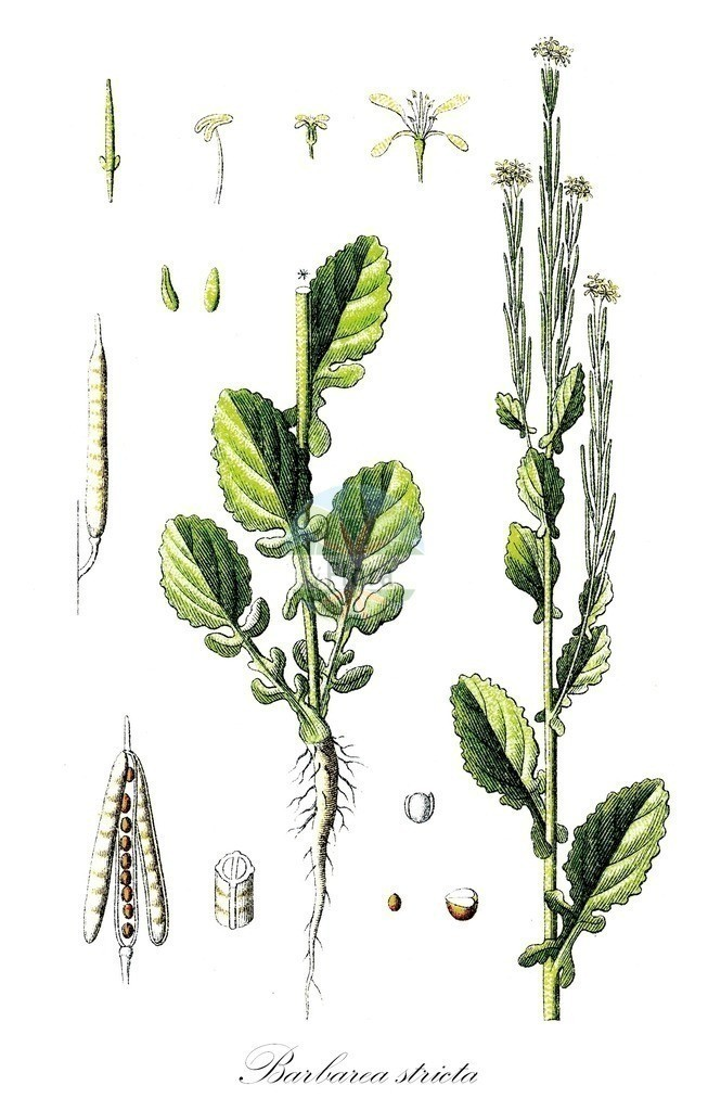 Historical drawing of Barbarea stricta (Small-flowered Winter-Cress) | Historical drawing of Barbarea stricta (Small-flowered Winter-Cress) showing leaf, flower, fruit, seed