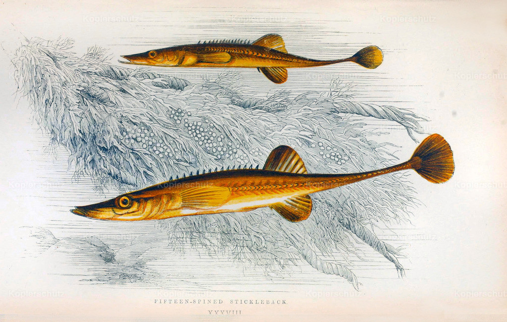 A-History-of-the -Fishes- of- the- British-Islands-Fische-1862-1866 (17)