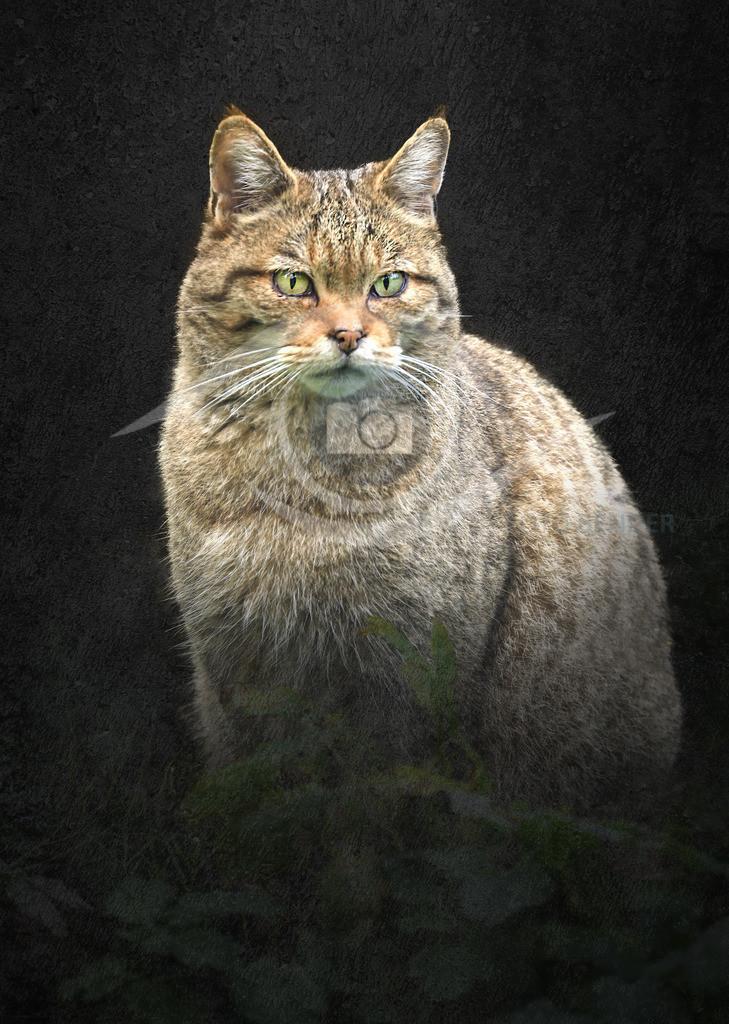 Wildkatze im Hunsrück1
