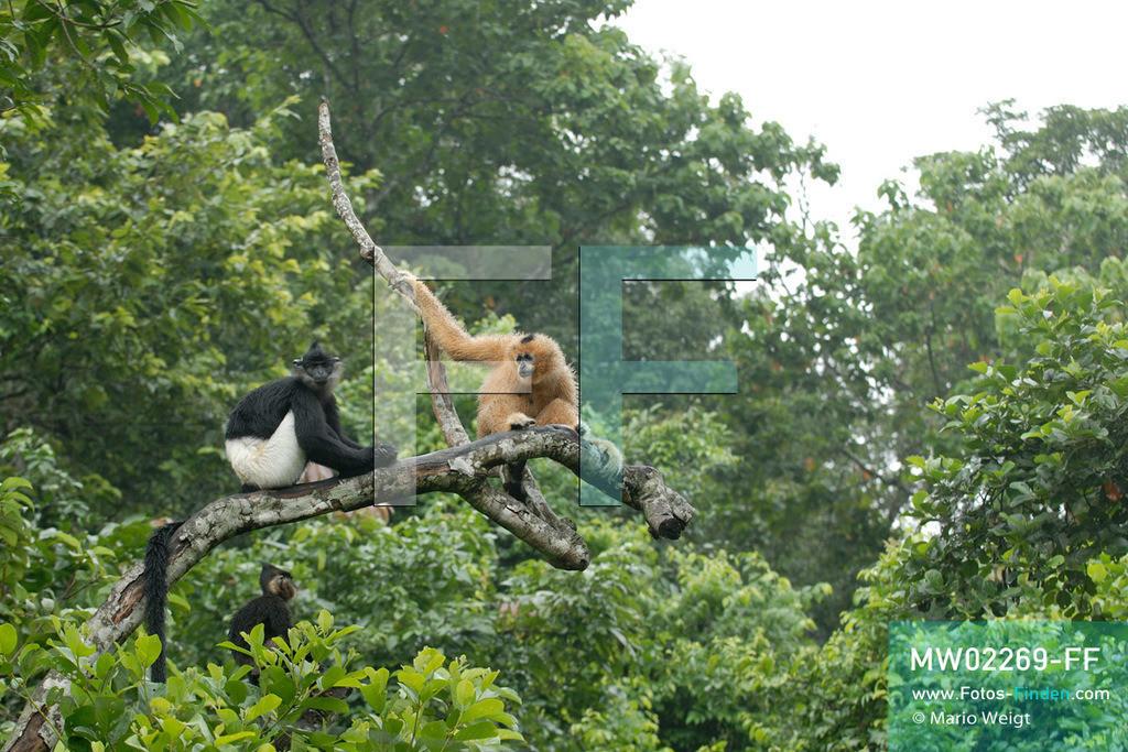 MW02269-FF | Vietnam | Provinz Ninh Binh | Reportage: Endangered Primate Rescue Center | Ein Weißwangen-Schopfgibbon (Weibchen) und ein Delacour-Langur (Affe mit weißen Shorts). Der Deutsche Tilo Nadler leitet das Rettungszentrum für gefährdete Primaten im Cuc-Phuong-Nationalpark.   ** Feindaten bitte anfragen bei Mario Weigt Photography, info@asia-stories.com **