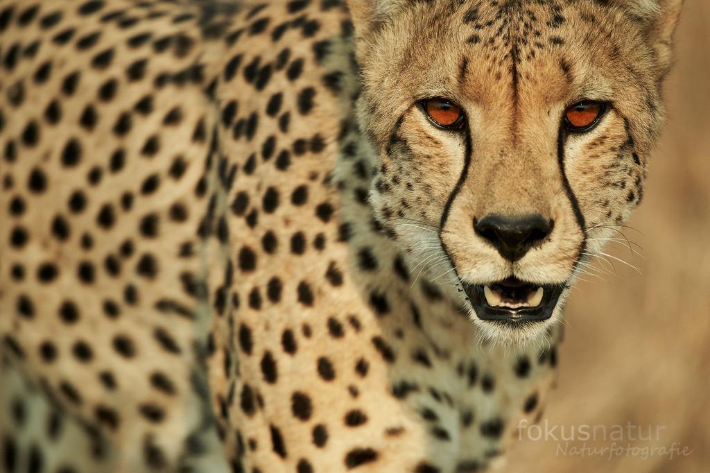 Gepard Portrait | Ein Gepard beobachtet die Kamera genau.