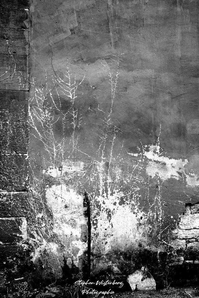 Schattengewächs   Schattengewächs an einer Hauswand in der Eisenschmelz bei Winnweiler/Hochstein