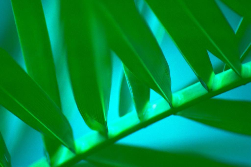 Blatt eines Palmfarns | Best. Nr. palme0056.  Ein ungewöhnliches Motiv in sanften Grüntönen, das sich sowohl zur Gestaltung privater Räume, als auch für den Gesundheitsbereich und z.B. Aufenthalts- und Besprechungsräume in Unternehmen eignet. Einen Anwendungsvorschlag finden SIe hier: https://shop.soulimages.eu/img/kx8u7a. Weitere Einrichtungsbeispiele sind in der Galerie