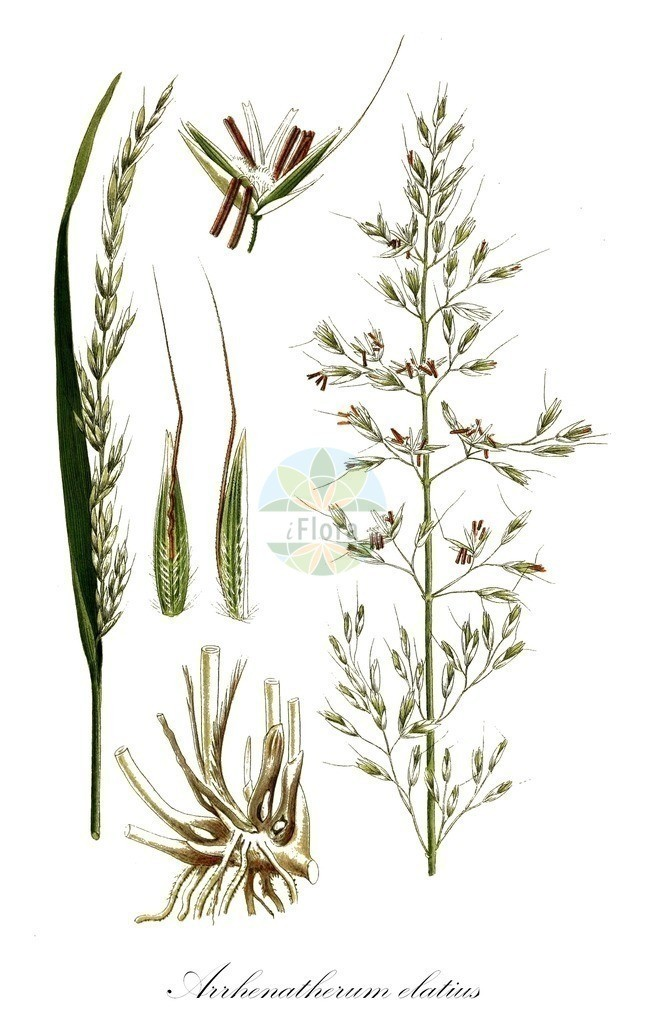 Historical drawing of Arrhenatherum elatius (False Oat-grass) | Historical drawing of Arrhenatherum elatius (False Oat-grass) showing leaf, flower, fruit, seed