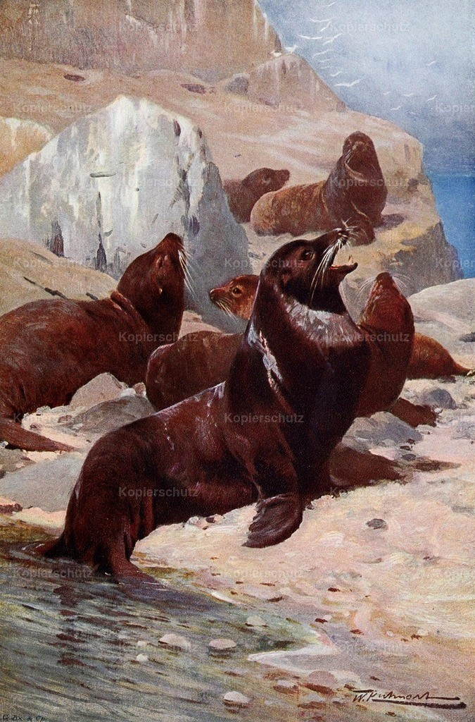 Kuhnert_ F.W. (1865-1926) - Wild Life of the World 1916 - Californian Sea-Lion