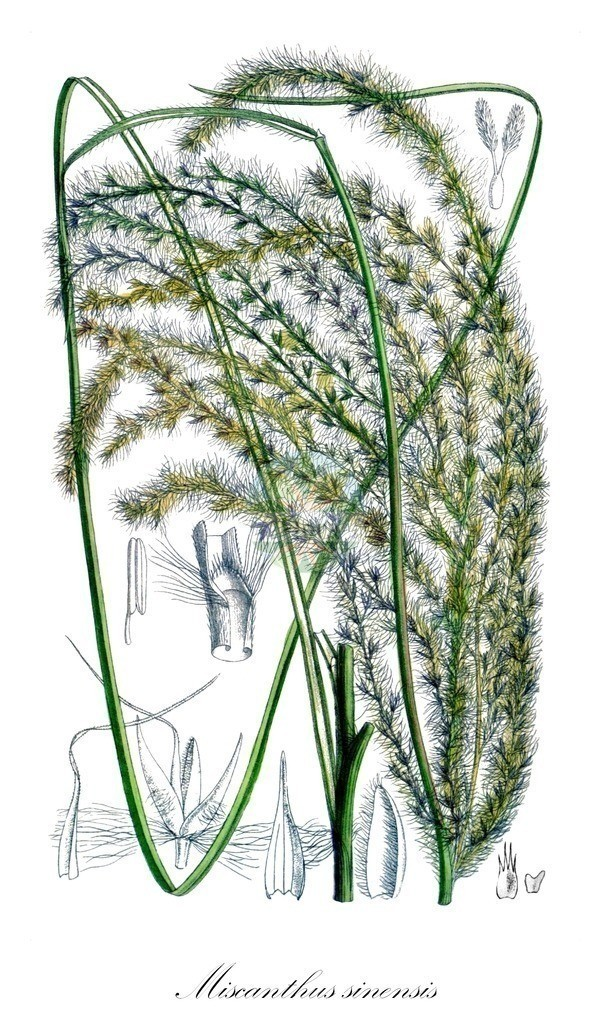 Historical drawing of Miscanthus sinensis (Silvergrass) | Historical drawing of Miscanthus sinensis (Silvergrass) showing leaf, flower, fruit, seed
