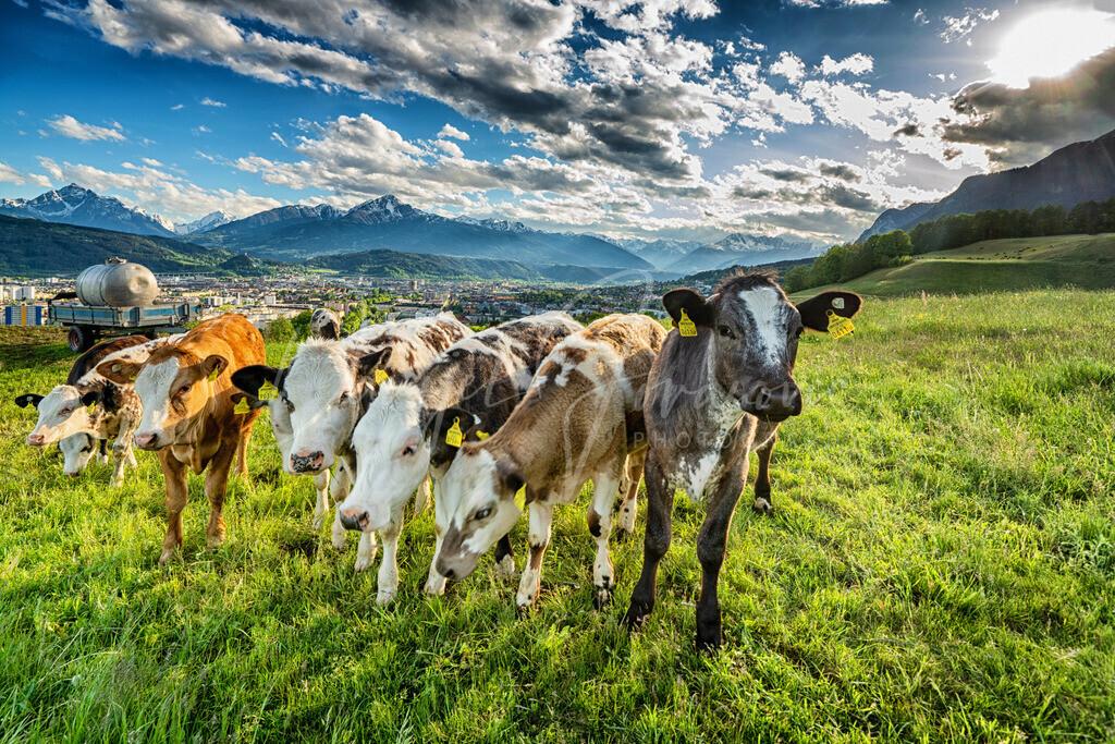 Arzl | Kälber in Arzl mit Blick auf Innsbruck