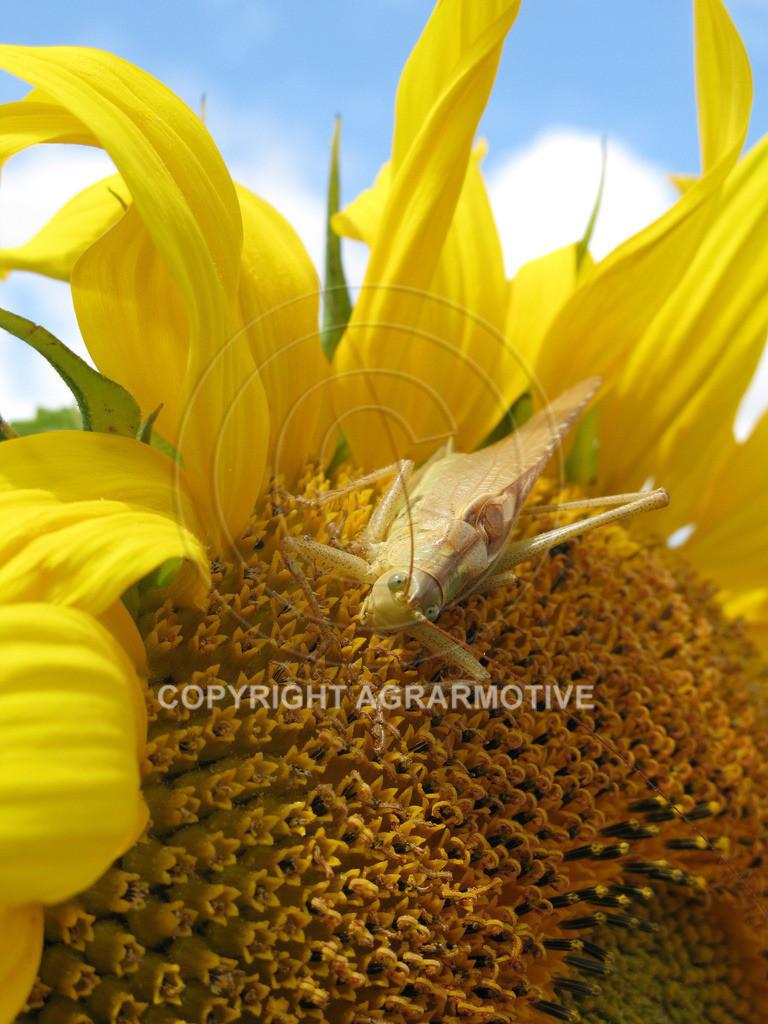 20090711-IMG_4338 | blühende Sonnenblumen im Sommer - AGRARMOTIVE Bilder aus der Landwirtschaft