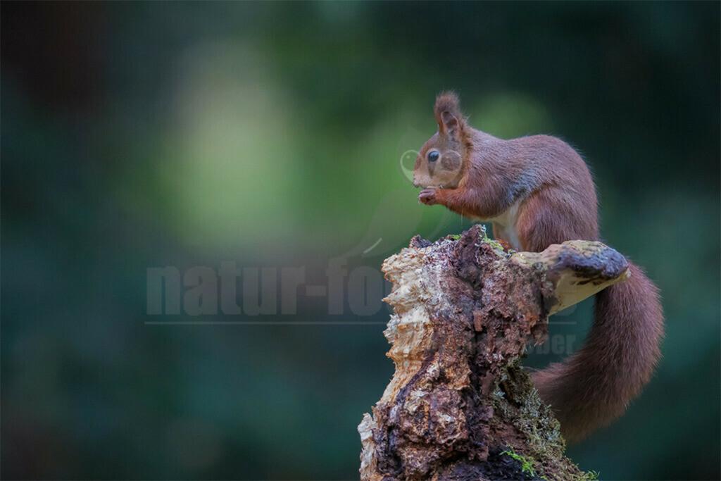 20191103-663A4879 | Auf der Beliebtheitsskala von uns Menschen rangieren Eichhörnchen ganz oben. Dazu tragen sicher ihre koboldhafte Gestalt mit fingerartigen Zehen an den kurzen Vorderbeinen sowie ihre tollkühnen Kletterkünste und das Männchenmachen bei.