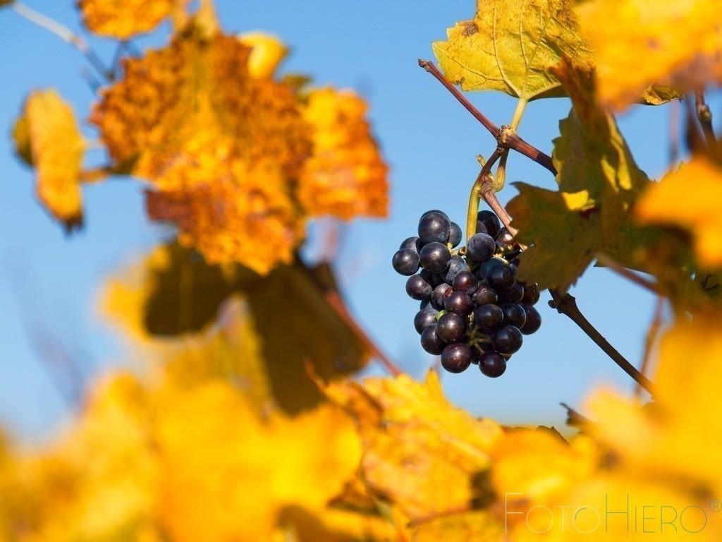 Herbstliche Weinrebe   Rote Weinrebe mit herbstlichem Weinlaub