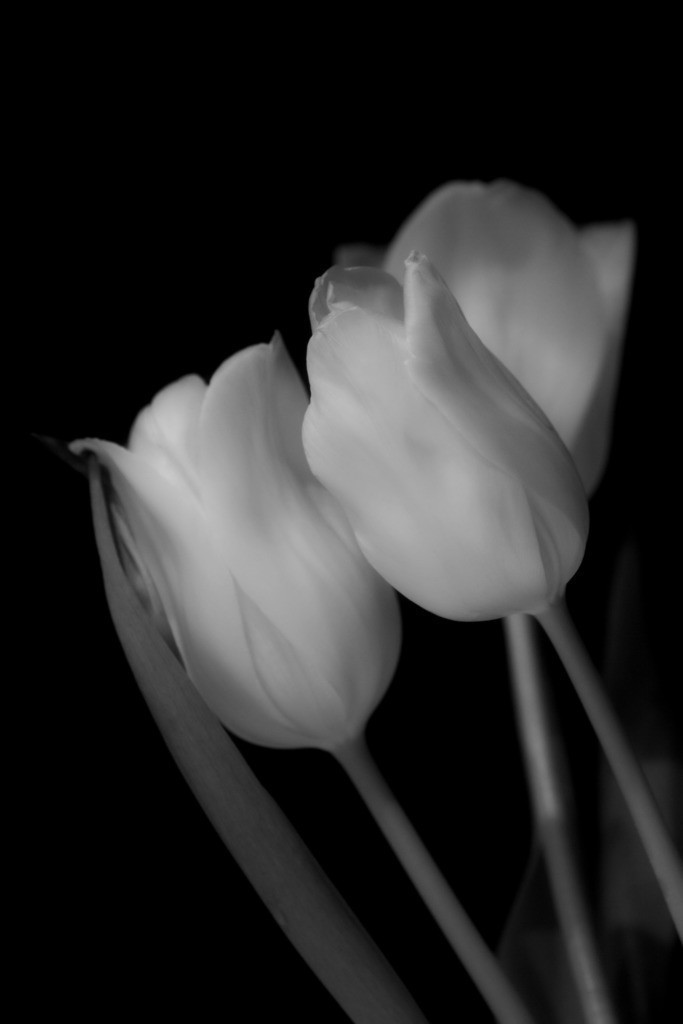Tulpen | Blumenmotiv