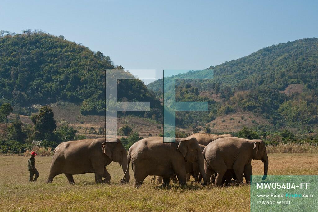 MW05404-FF   Thailand   Chiang Mai   Reportage: Elephant Nature Park   Mahut mit Elefantenherde.  Die thailändische Tierschützerin Sangduen Lek Chailert hat ein großes Herz für Elefanten. Im Jahr 1995 gründete sie den Elephant Nature Park am Mae-Taeng-Fluss, nördlich von Chiang Mai. In diesem natürlichen Refugium leben über 30 Dickhäuter. Elefantenführer, Tierärzte und freiwillige Helfer kümmern sich um die meist ehemaligen Arbeitselefanten.   ** Feindaten bitte anfragen bei Mario Weigt Photography, info@asia-stories.com **