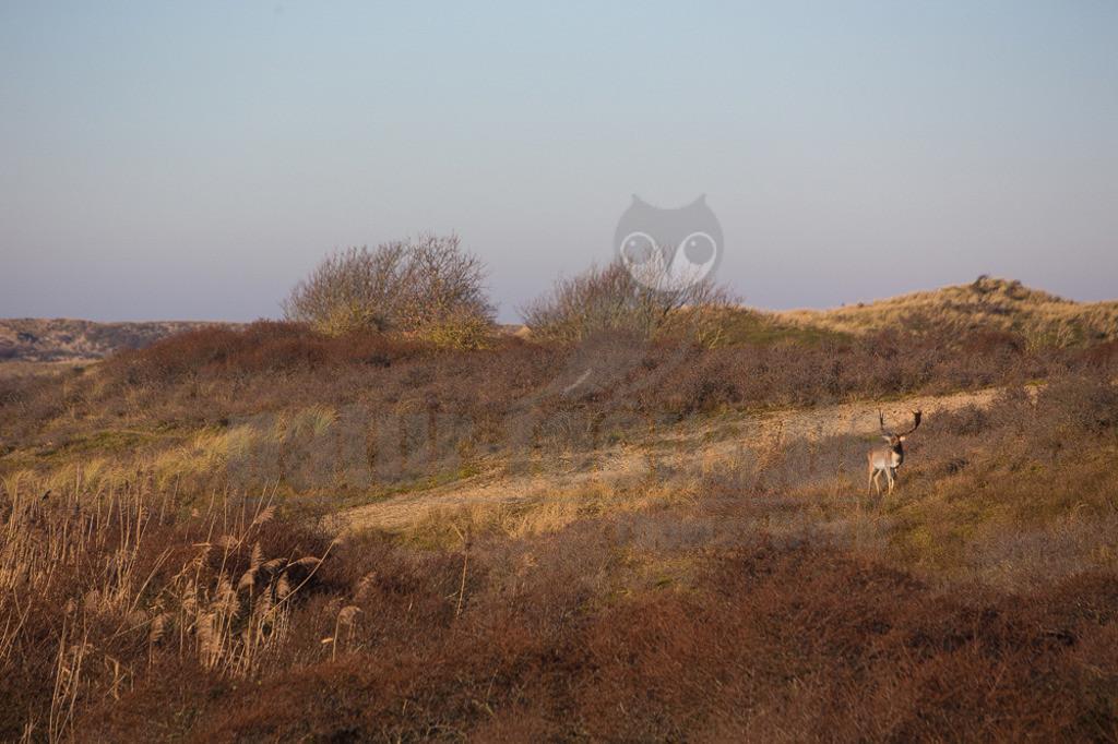 20191230-IMG_6189 Kopie | Infolge der letzten Eiszeit starb der Damhirsch in Europa aus. Alle heute in Mitteleuropa lebenden Tiere wurden angesiedelt. Die Art ist am markanten Schaufelgeweih der männlichen Tiere und dem im Sommer weißgefleckten, ansonsten rotbraunen Fell zu erkennen.