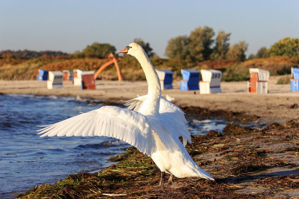 Strand in Damp | Schwan am Strand in Damp im Herbst