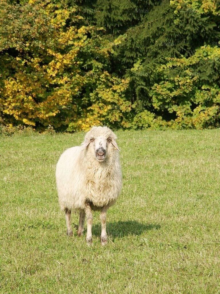 Schafe-10.05_0071k