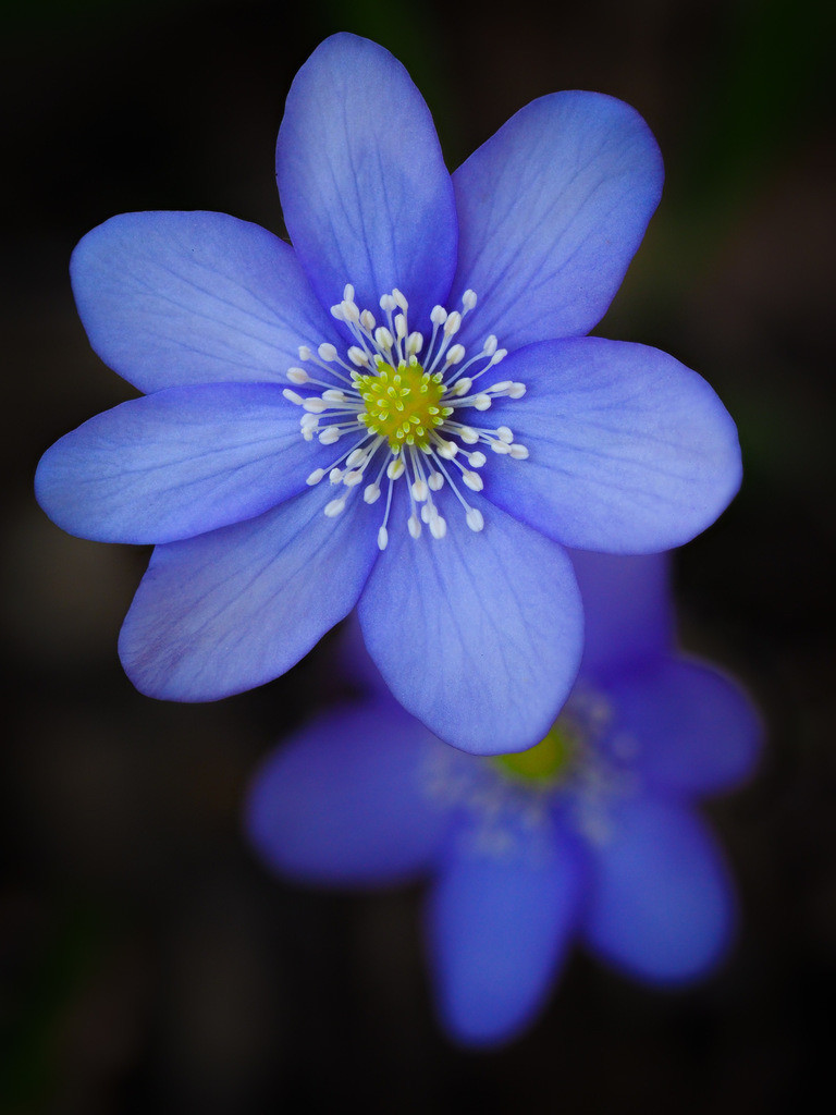 Leberblümchen - Hepatica nobilis | Blüte eines blauen Leberblümchens (Hepatica nobilis).