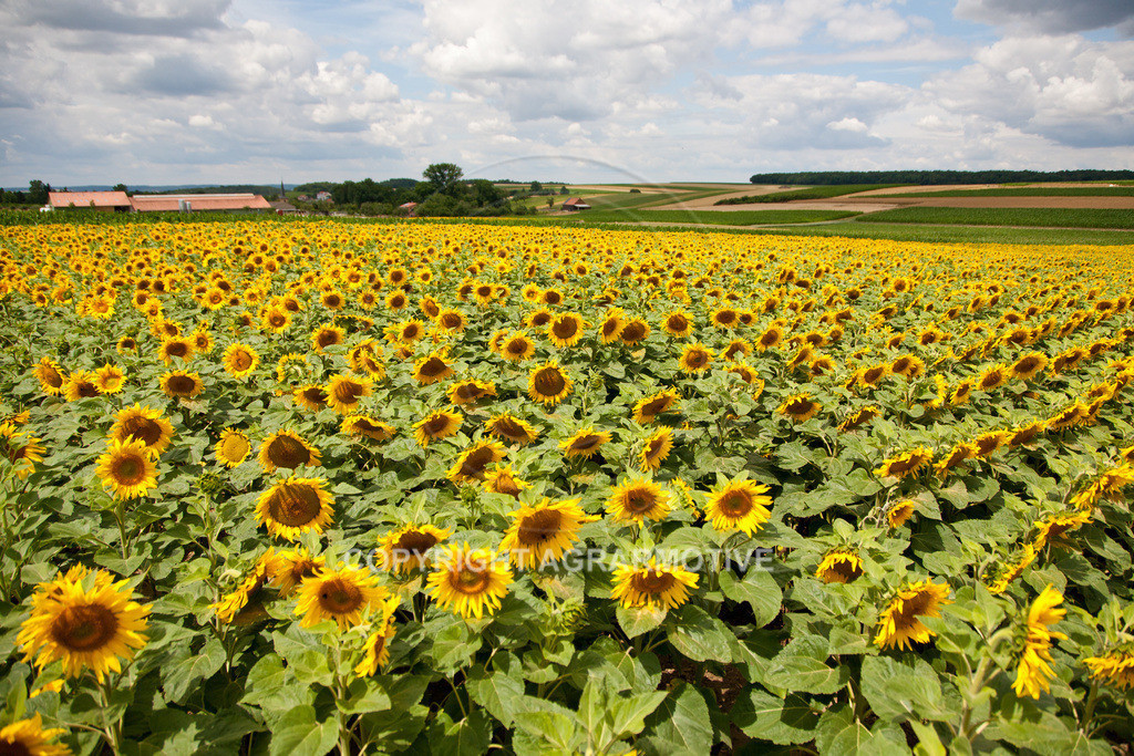 20090711-IMG_3676 | blühende Sonnenblumen im Sommer - AGRARMOTIVE Bilder aus der Landwirtschaft