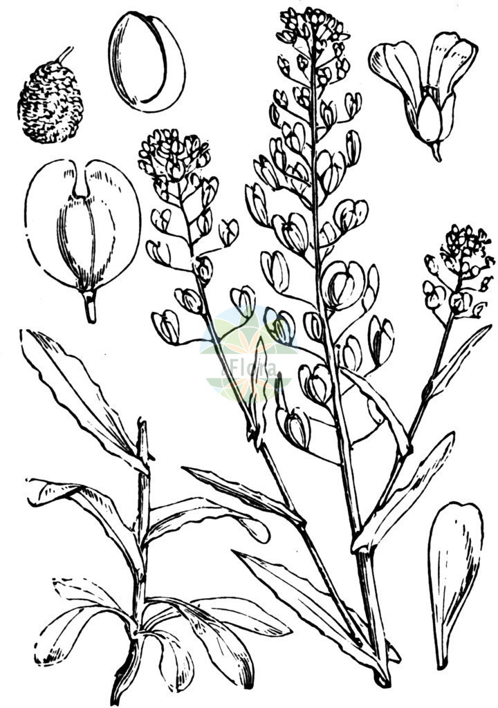 Thlaspi arvense (Acker-Hellerkraut - Field Penny-cress) | Historische Abbildung von Thlaspi arvense (Acker-Hellerkraut - Field Penny-cress). Das Bild zeigt Blatt, Bluete, Frucht und Same. ---- Historical Drawing of Thlaspi arvense (Acker-Hellerkraut - Field Penny-cress).The image is showing leaf, flower, fruit and seed.