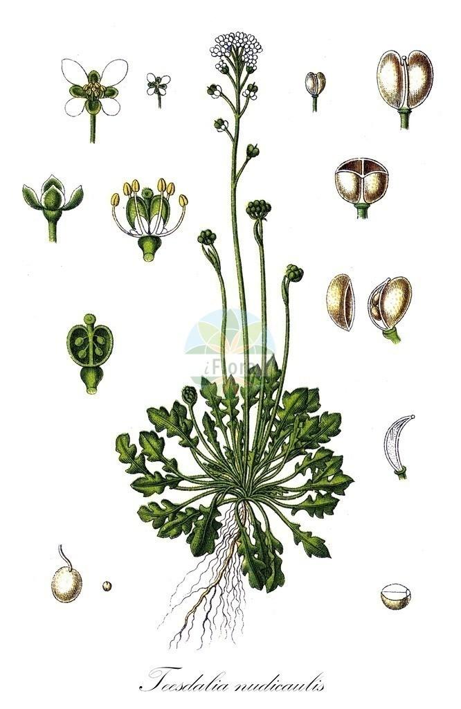 Historical drawing of Teesdalia nudicaulis (Shepherd's Cre   Historical drawing of Teesdalia nudicaulis (Shepherd's Cress) showing leaf, flower, fruit, s