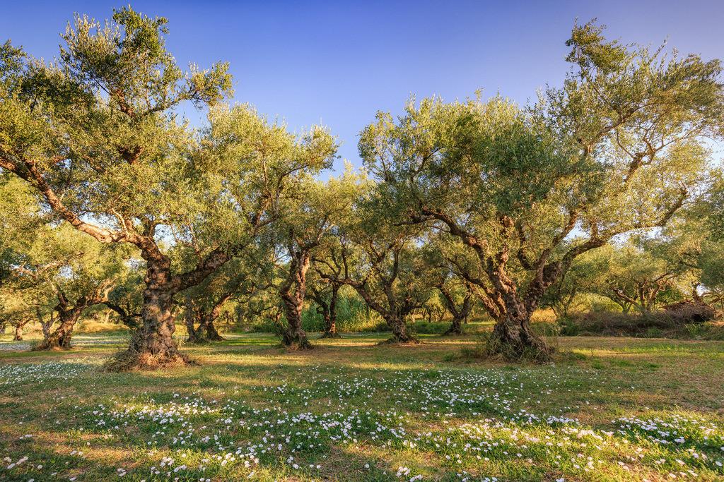 020-Zakynthos-Olivenbäume