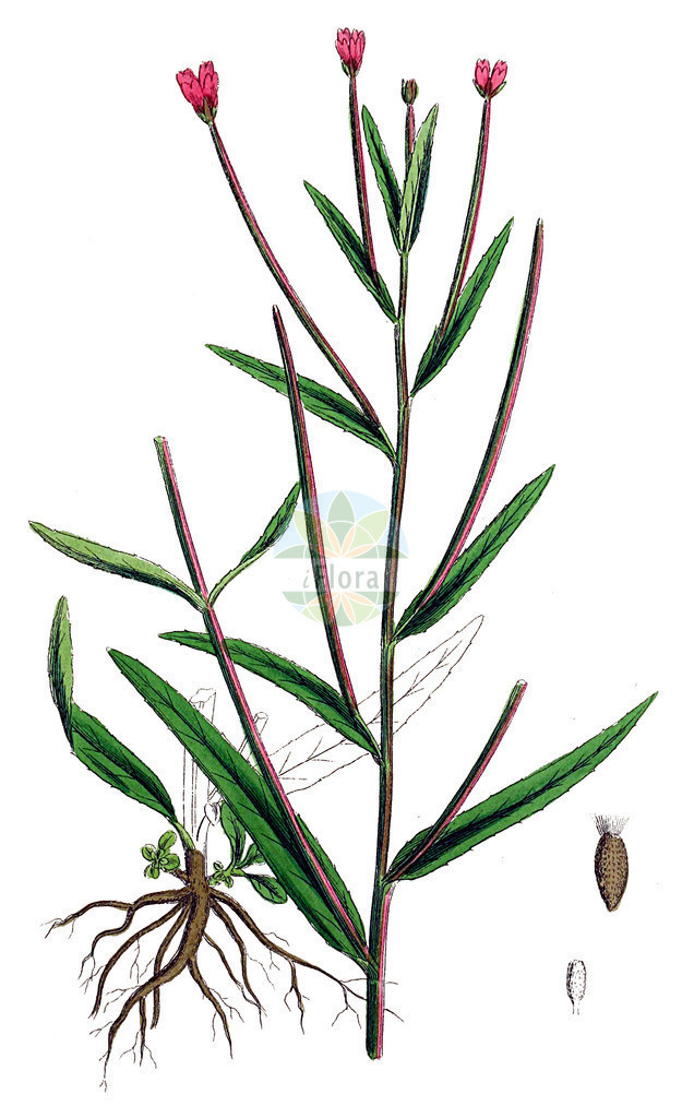 Epilobium tetragonum (Vierkantiges Weidenroeschen - Square-stalked Willowherb) | Historische Abbildung von Epilobium tetragonum (Vierkantiges Weidenroeschen - Square-stalked Willowherb). Das Bild zeigt Blatt, Bluete, Frucht und Same. ---- Historical Drawing of Epilobium tetragonum (Vierkantiges Weidenroeschen - Square-stalked Willowherb).The image is showing leaf, flower, fruit and seed.