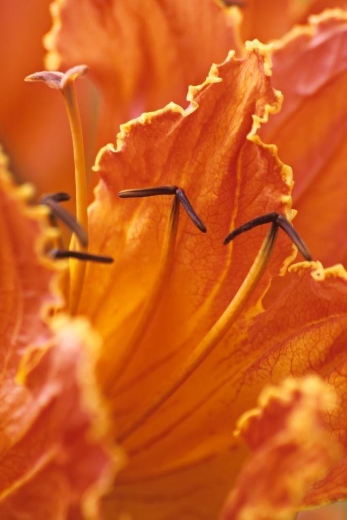Best. Nr. anerkennung06 | Blüte eines afrikanischen Tulpenbaums