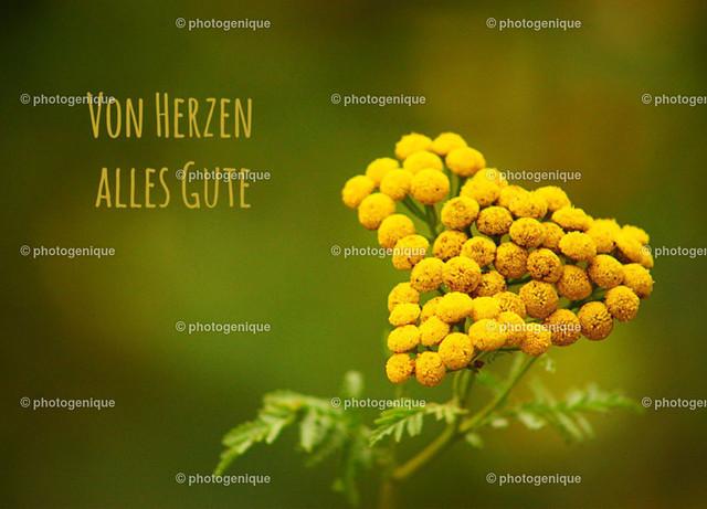 Geburtstagskarte Glückwunschkarte Rainfarn: Von Herzen alles Gute   gelbe Blüte eines Wurmkrauts in Herform bei Tageslicht vor einem grünen Hintergrund mit dem Text Von Herzen alles Gute