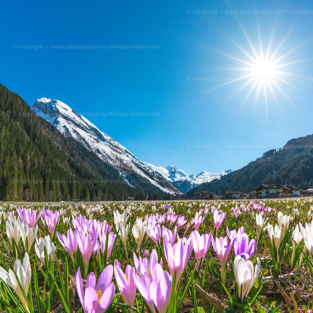 Krokussblüte Madseit im Tuxertal-1