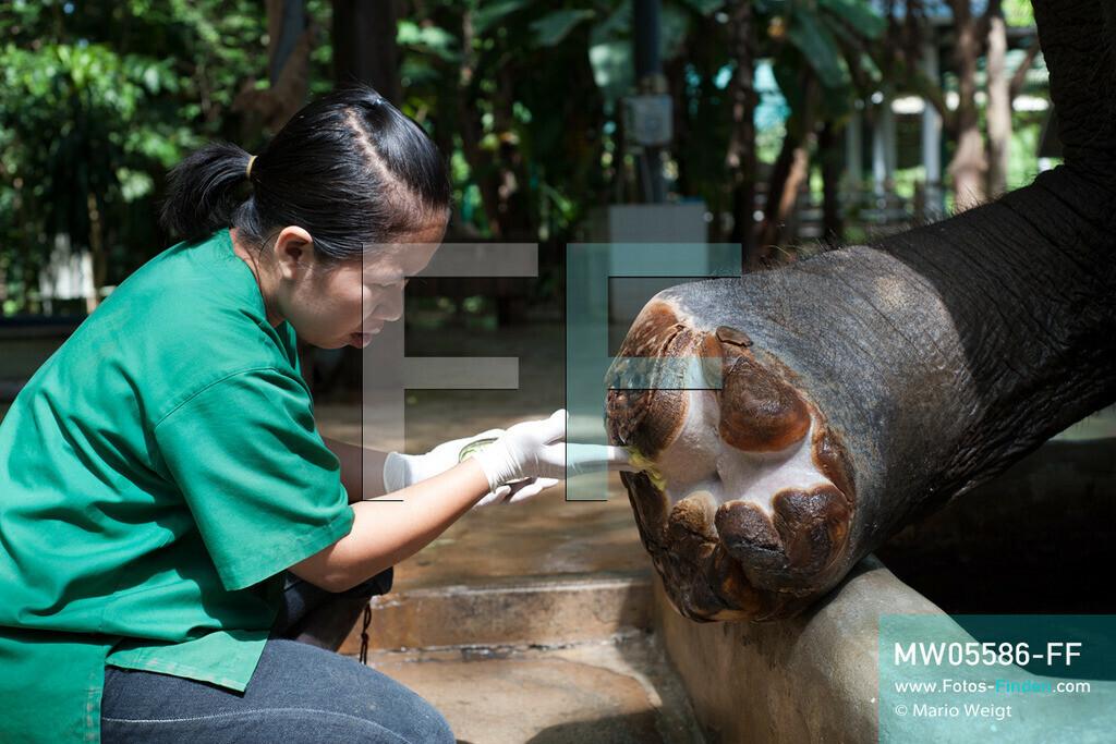 MW05586-FF | Thailand | Lampang | Reportage: Krankenhaus für Elefanten | Tierärztin Cruetong Kayan behandelt den Fuß der Elefantenkuh Mae Kapae in der Krankenstation. Sie ist auf eine Landmine getreten.  ** Feindaten bitte anfragen bei Mario Weigt Photography, info@asia-stories.com **