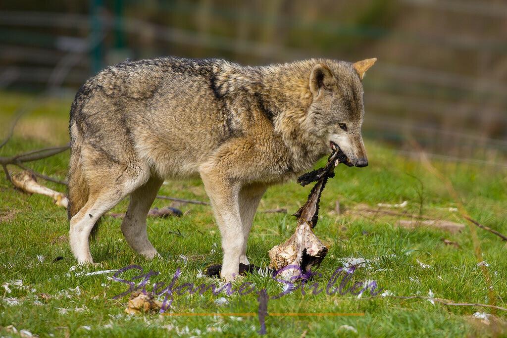 Wolf beim Fressen