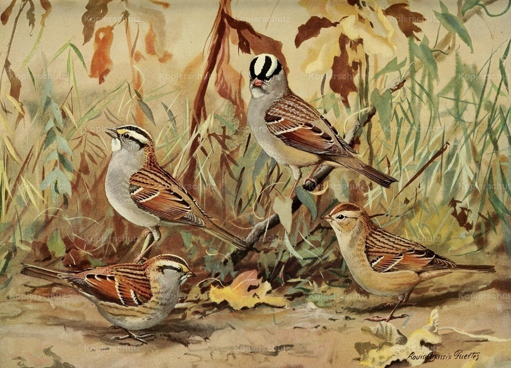 Fuertes_ L.A. (1874-1927) - Birds of Massachusetts 1925 - White-crested Sparrow