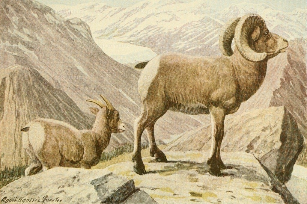 Fuertes_ L.A. (1874-1927) - Wild Animals of N. America 1918 - Rocky Mountain Sheep