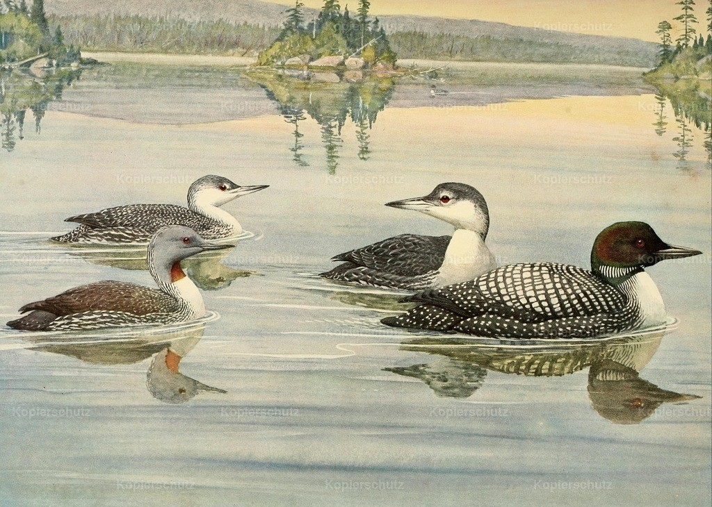 Fuertes_ L.A. (1874-1927) - Birds of Massachusetts 1925 - Loon