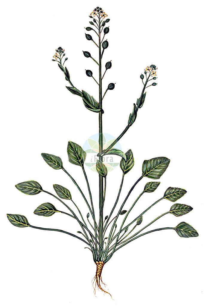 Cochlearia anglica (Englisches Loeffelkraut - English Scurvygrass) | Historische Abbildung von Cochlearia anglica (Englisches Loeffelkraut - English Scurvygrass). Das Bild zeigt Blatt, Bluete, Frucht und Same. ---- Historical Drawing of Cochlearia anglica (Englisches Loeffelkraut - English Scurvygrass).The image is showing leaf, flower, fruit and seed.