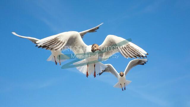 Tiere, 3 Möwen am blauen Himmel an der Ostsee | Möwen am blauen Himmel an der Ostsee