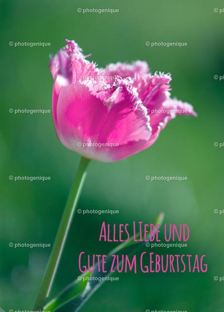 Pinke Tulpe alles Liebe und Gute zum Geburtstag | Geburtstagskarte zeigt eine pinke Tulpe vor einem grünen Hintergrund bei Tageslicht mit Text alles Liebe und Gute zum Geburtstag