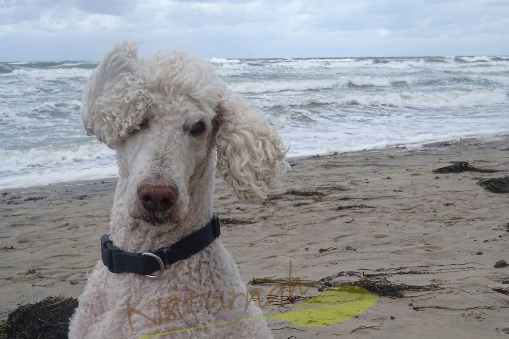 Wind-Hund | Ein außergewöhnlicher Windhund: Königspudel im Ostseewind mit bezauberndem Gesichtsausdruck.