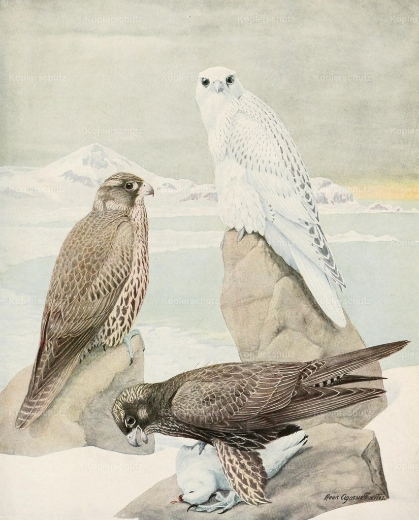Fuertes_ L.A. (1874-1927) - Birds of America 1923 - Gyrfalcons
