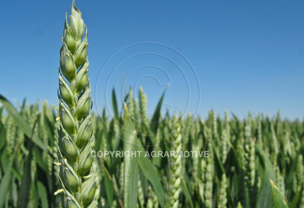 20090530-IMG_4104 | Weizenähren vor der Abreife - AGRARBILDER Bilder aus der Landwirtschaft