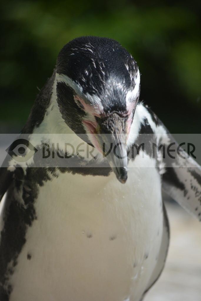 Pinguine Bilder | Foto Pinguin Italien