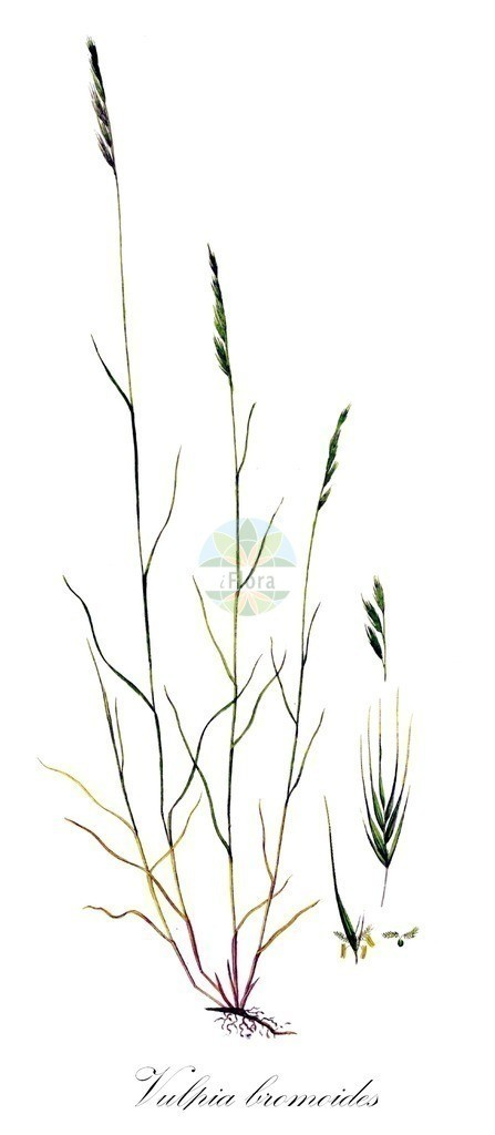 Historical drawing of Vulpia bromoides (Squirreltail Fescue) | Historical drawing of Vulpia bromoides (Squirreltail Fescue) showing leaf, flower, fruit, seed