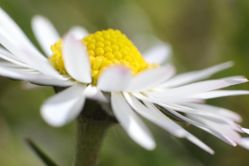 Gänseblume Nahaufnahme   Vergrößerungsaufnahme der Blüte eines Gänseblümchens