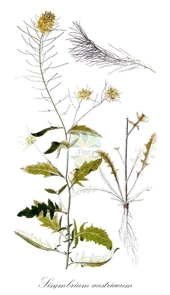 Historical drawing of Sisymbrium austriacum (Austrian Rocket) | Historical drawing of Sisymbrium austriacum (Austrian Rocket) showing leaf, flower, fruit, seed