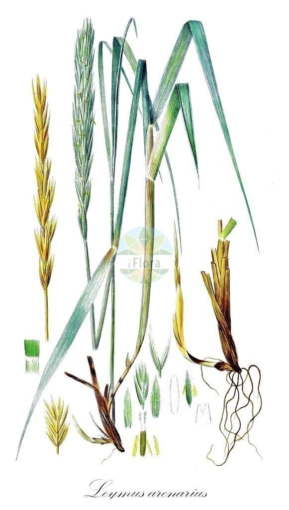 Historical drawing of Leymus arenarius (Lyme-grass) | Historical drawing of Leymus arenarius (Lyme-grass) showing leaf, flower, fruit, seed