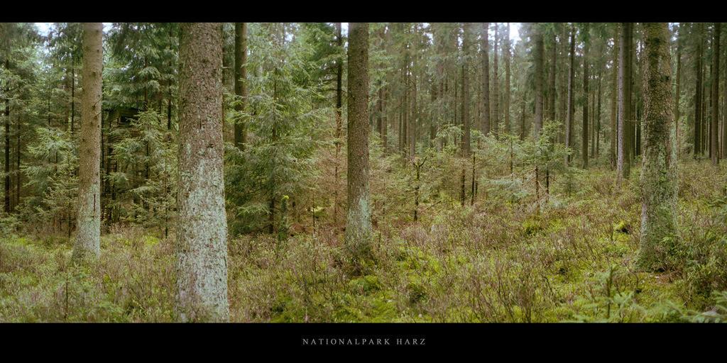 Nationalpark Harz | Nadelwald im Nationalpark und Mittelgebirge Harz