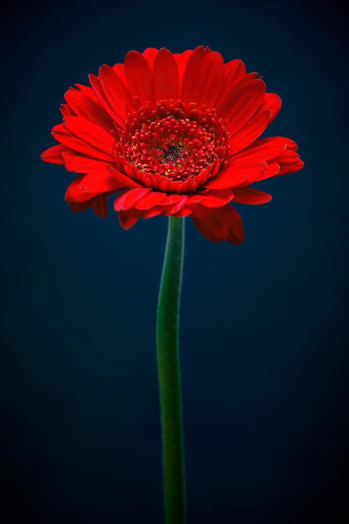Rot!   Rote Blüte vor blauem Hintergrund.